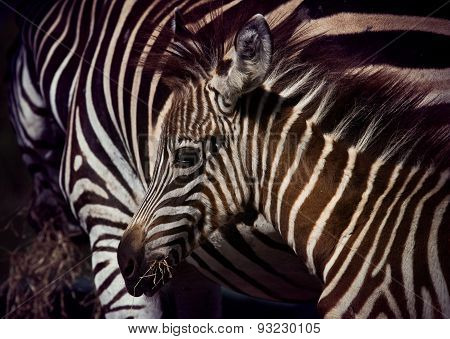 Close Up Face Of Young African Wilderness Zebra Pony In Field