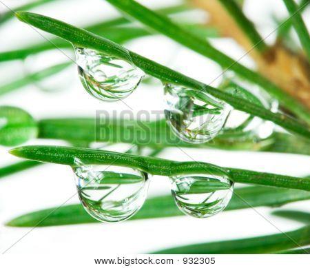 Drops On Pine-Tree