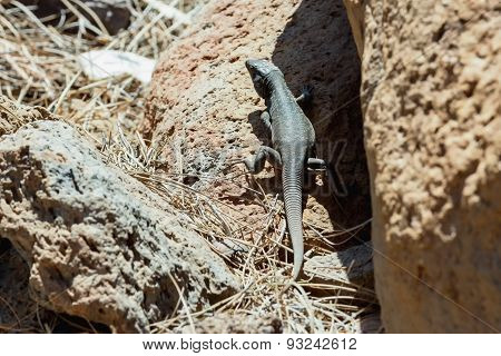 Lizard or lacertian reptile sitting on ground with dry grass poster