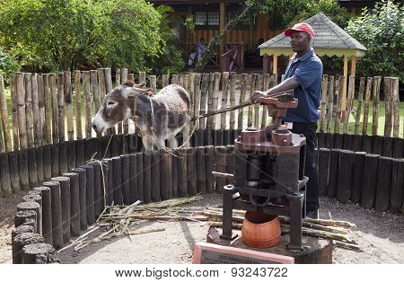 JAMAICA- OCTOBER 29: burro in a circle for a juice pressing from a reed at plant of Appleton rum on
