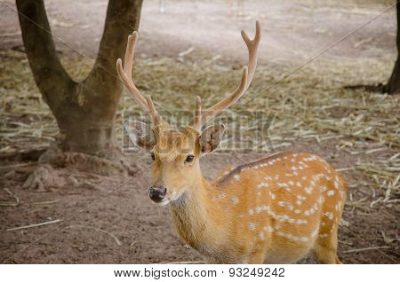 Chital or cheetal deer (Axis axis) also known as spotted deer or axis deer poster