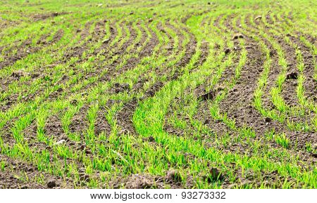 Sprouts Of Secale Cereale On A Field.
