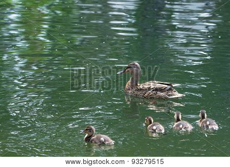 A Duck Swims With Ducklings