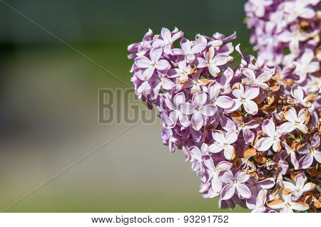 Beauitful Lilac Flowers