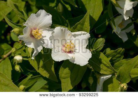 Mockorange Plant