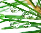 reflections in drops on pine-tree. over white poster