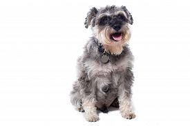 Portrait Of Grey Miniature Schnauzer Terrier Dog