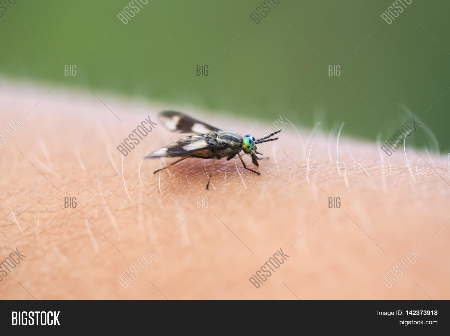 Gadfly - an insect attacking animals and humans. What to do when biting gadfly 51