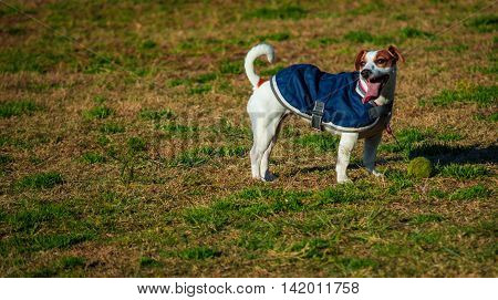 Jack Russell pet dog wearing coat standing on grass