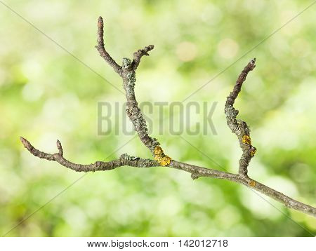 Uneven Dry Twig