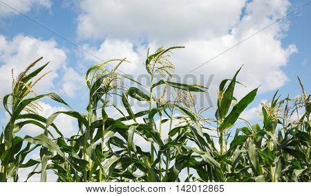 Maize Tops