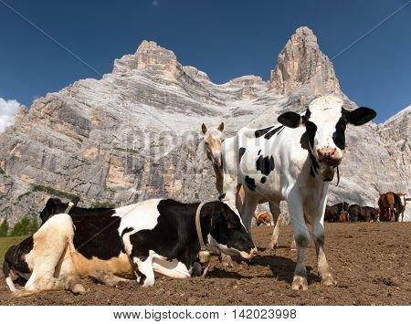 herd of cows (bos Taurus) on mountain laying om meadow with bell near Monte Pelmo Dolomites Italy