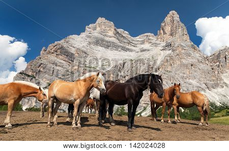 Horses and cow under Monte Pelmo in Italian Dolomities South Tirol Dolomiten mountains Italien European Alps