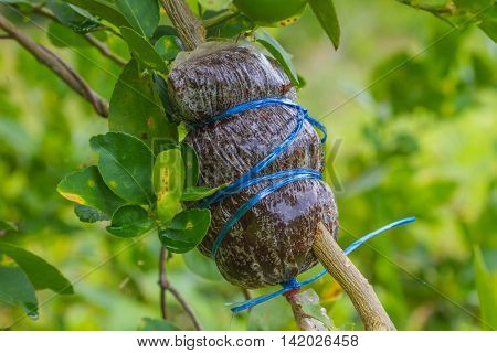 Grafting on tree branch of Leech lime or bergamot