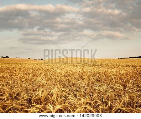 Empty wheat field on a sunny day