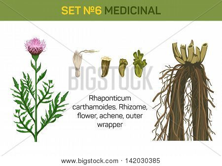 Medicinal flower of Rhaponticum carthamoides or maral root. Detailed parts of healing or herbal plant like rhizome and flower, achene and outer wrapper. For medicine book or herb illustration