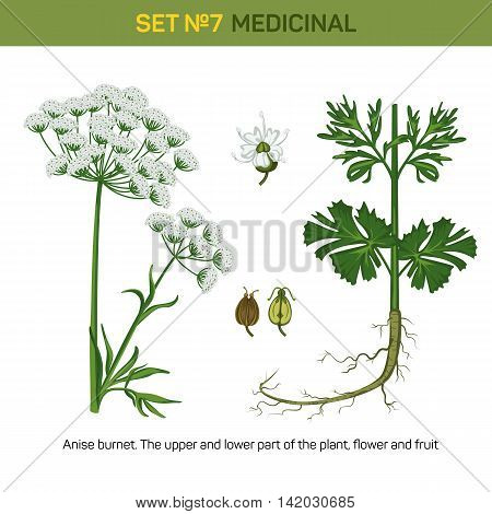 Anise or aniseed burnet flowering medicinal plant. Detailed illustration of upper and lower part of floral bouquet and flower, fruit of fennel or licorice. Plant for making essential oil and anethole