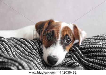 Cute small dog Jack Russell terrier on couch