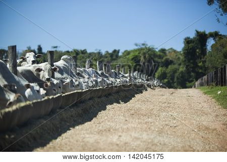 Herd Of Cattle Eating Near A Dirt Road.