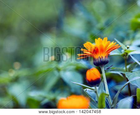 Beautiful Marigold (calendula) In Close Up