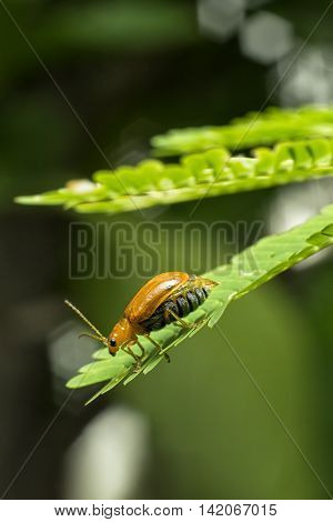 Macro photography of the red pumpkin beetle stay on leaves