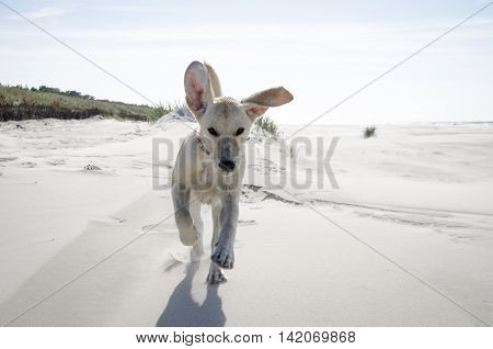 young labrador running on the sandy beach