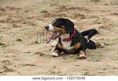 The Entlebucher Sennenhund or Entlebucher Mountain Dog Lays on the beach sand