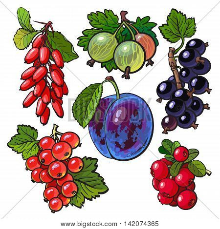 Collection of garden berries, vector illustration isolated on white background. Red and black currant gooseberry barberry hawthorn plum. Set of fresh ripe berries, smoothie ingredients