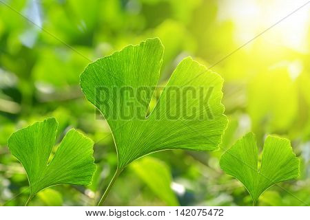 Green leaves of Ginkgo Biloba on natural background.