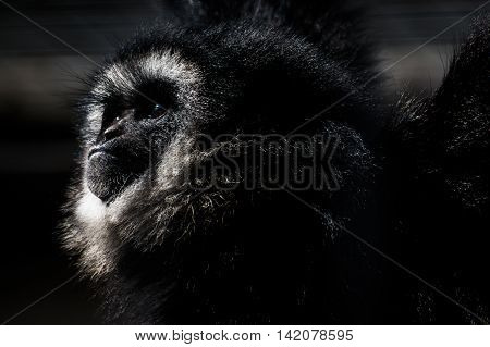 Gibbon Monkey Looking Into Sun Dramatic Contrast Detail Portrait