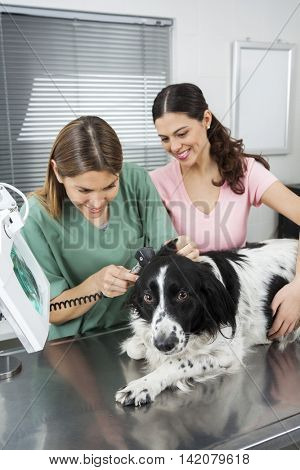 Vet Examining Border Collie's Ear With Otoscope By Woman