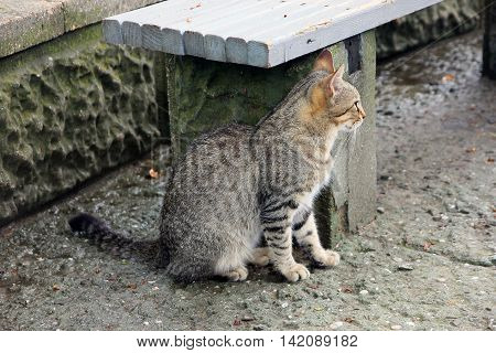 beautiful crimean non-pedigree tabby eared cat sitting under park bench