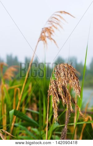 Blooming River bulrush. Early morning on the lake.