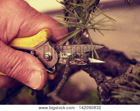 Spiky Pincers  Artistic Gardener Trimming Bonsai Tree. Cut Of Bended Twig