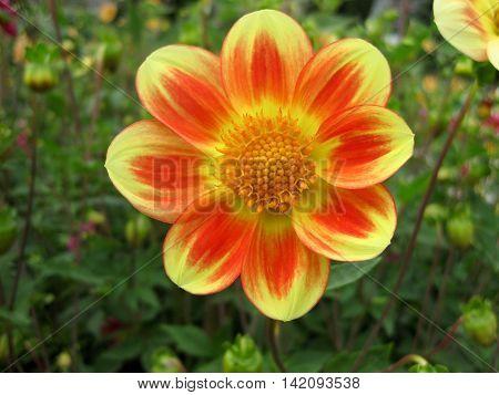 Yellow orange flower in a natural garden environment - no bumblebee