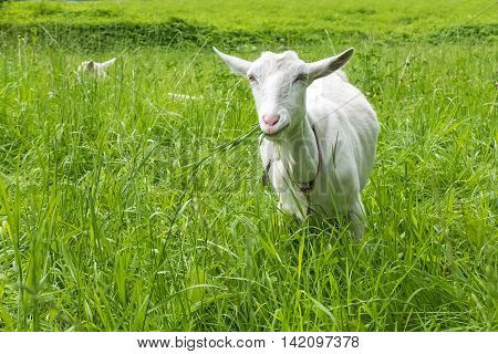White goat grazing in the field. Pastoral views and rural animal grazing. The cattle in the pasture grazing. Horned cloven-hoofed livestock on a ranch. Goat's milk is good for health.
