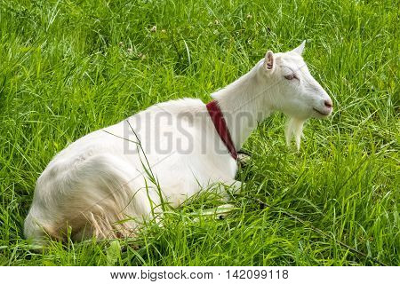 White goat resting th fresh grass. Pastoral views and rural animal grazing. Goat in the meadow. Cattle in pasture grazing. Horned cloven-hoofed livestock on ranch. Goat's milk is good for health.