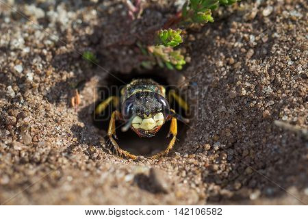 European Beewolf wasp (Philanthus triangulum) exiting its egg-laying burrow or chamber