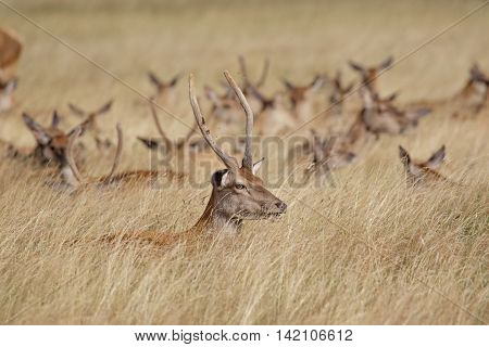 Young Red Deer stag (Cervus elaphus) with herd behind in long grass