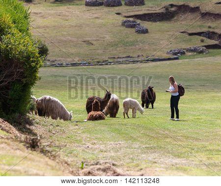 Tourist Photographing Llamas And Alpacas