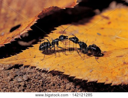 Two ants facing a fight