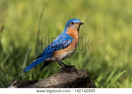 Beautiful male Eastern Bluebird (Sialia sialis) portrait perched on weathered birch with feathers shining vividly in the morning sunlight