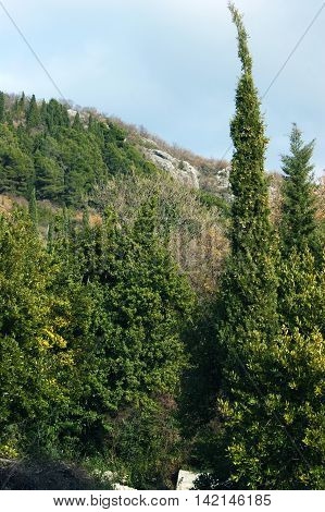Evergreen coniferous  forest in the mountains of Montenegro