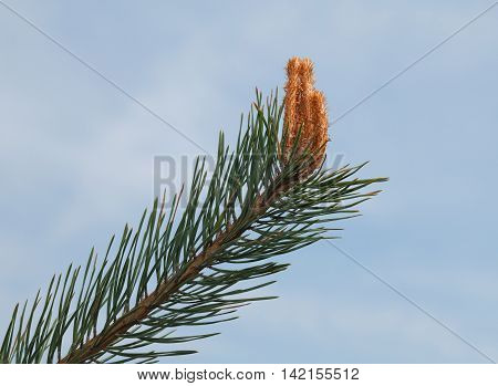 Pine Twig And Buds