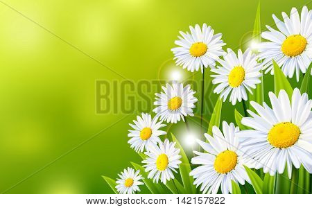 beauty White daisy flowers with green backgroun