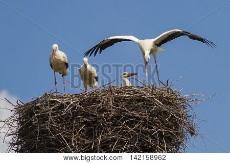 Nest with four young white storks Ciconia ciconia