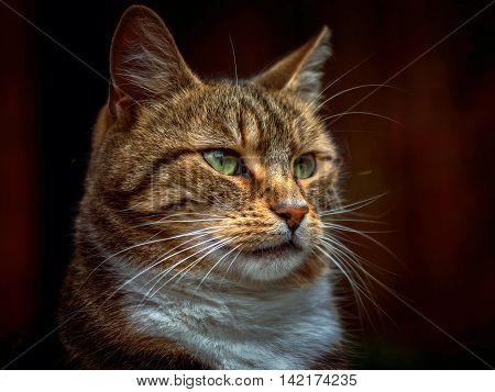 Male pet tabby cat with green eyes