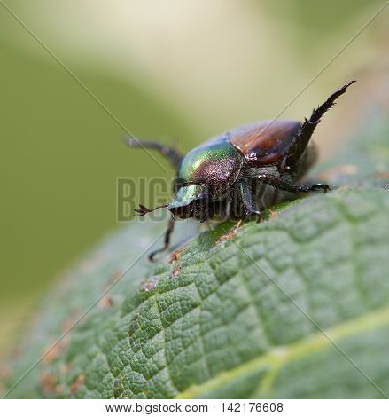 Japanese beetle with its feelers working on a grape leaf