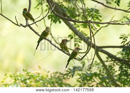 Two Little Green Bee-eater birds in yellow green brown perching on tree branch during summer in Thailand (Merops orientalis)