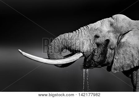 Elephant bull with large tusks drinking water. Close-up portrait with side view in Addo National Park